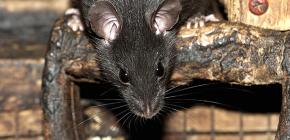Черные крысы: фотографии и интересные факты о жизни этих грызунов
