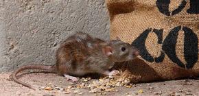 Интересные факты о серых крысах (пасюках)
