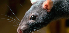 Чего боятся крысы и какие народные средства против них наиболее эффективны
