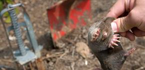 Как можно быстро поймать крота в огороде, используя простые средства