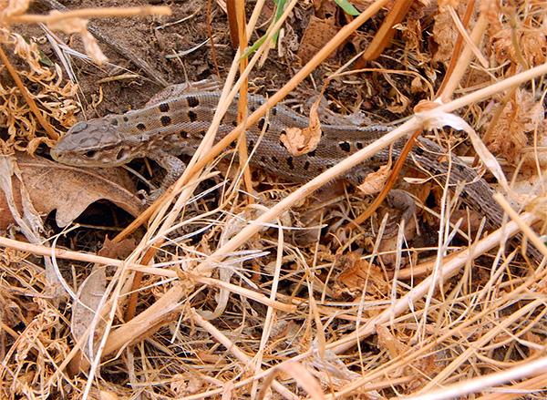Также крот может съесть ящерицу, жабу или лягушку, если они не успеют убежать от лап и зубов ненасытного копателя.