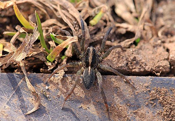 Пищей кротов могут стать и пауки, даже крупные и ядовитые.