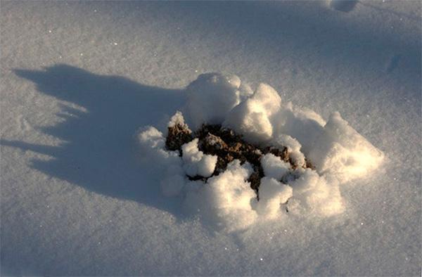 Кроты не впадают в спячку даже зимой