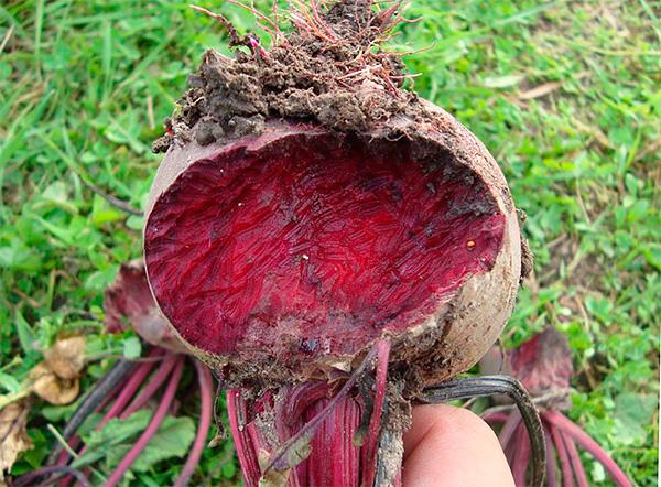 Когда огородники рядом с кротовыми ходами находят поврежденные овощи на грядках, то нередко винят в такой порче урожая именно кротов.