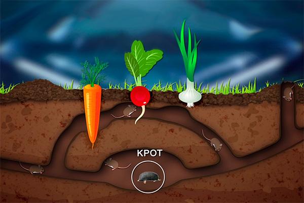 Повреждать морковь, картошку или свеклу могут различные мелкие грызуны, пользующиеся кротовинами, однако хозяева участков зачастую все списывают на кротов.