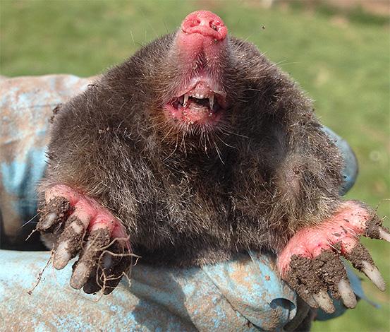 Эти зверьки являются активными хищниками, и строение их зубов хорошо это подтверждает.