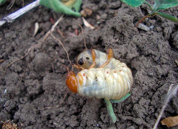 На фото показана личинка майского жука в земле