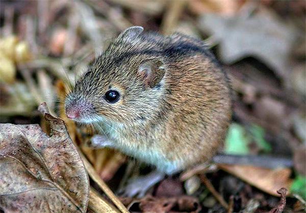 Хотя и редко, но в пищу хищнику может пойти и мелкая ослабленная мышь.