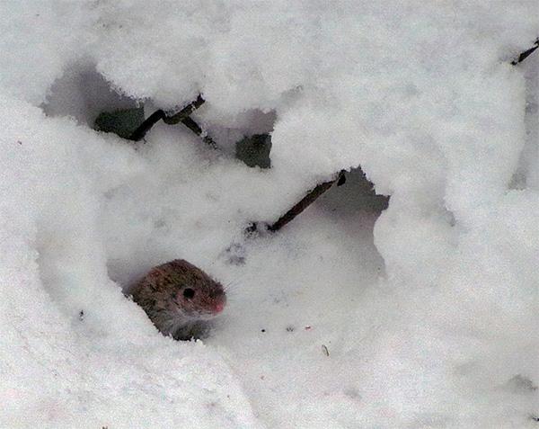 Крот может съест даже мышь, если та окажется не слишком проворной или будет ослабленной.