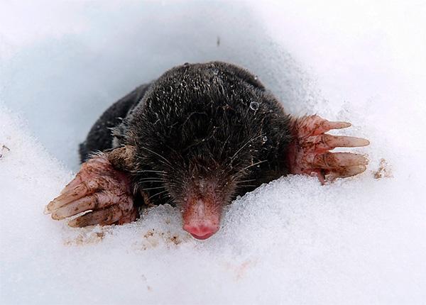 Вообще говоря, кроты редко выползают из-под снега на его поверхность, так как здесь меньше пищи и выше риск быть съеденным другими хищниками.