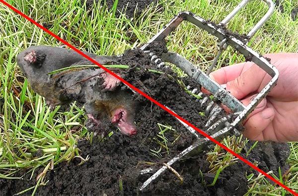 На фото показан пример, когда кротов на участке уничтожают с помощью капканов - это негуманно.