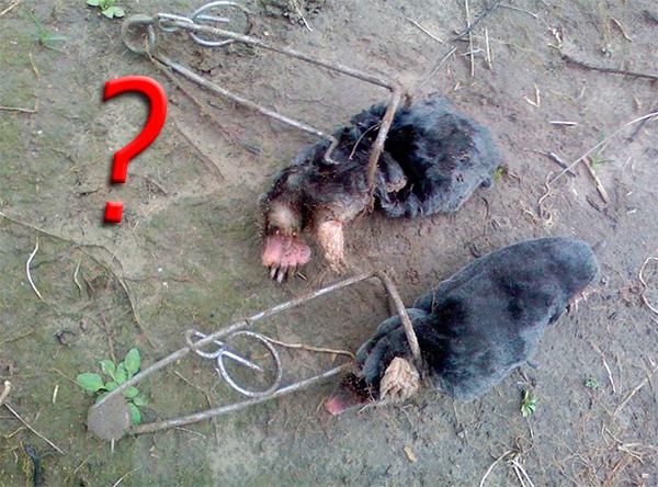 Не стоит убивать кротов на участке, если есть возможность поймать их живыми и отнести подальше от своего огорода.