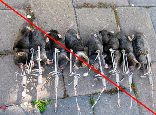 Убивать кротов вовсе не обязательно, так как их можно ловить живыми и выносить за пределы огорода.