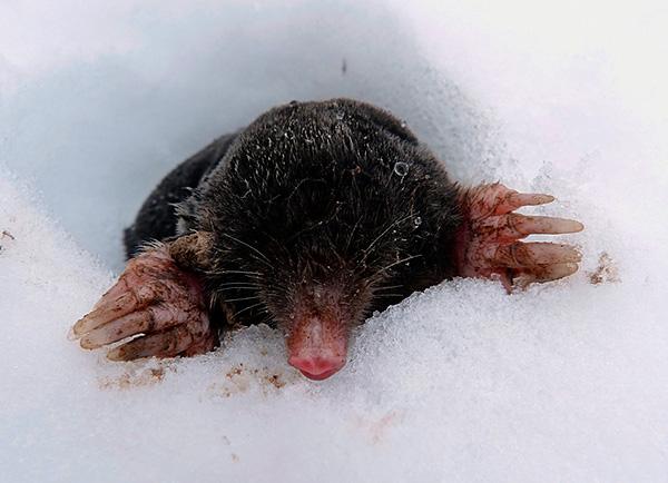 Соответственно, без должной защиты кроты могут хозяйничать на вашем участке всю зиму.