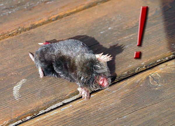 Если забыть вынуть крота из ловушки, то он погибнет в течение 24 часов мучительной смертью (от голода).