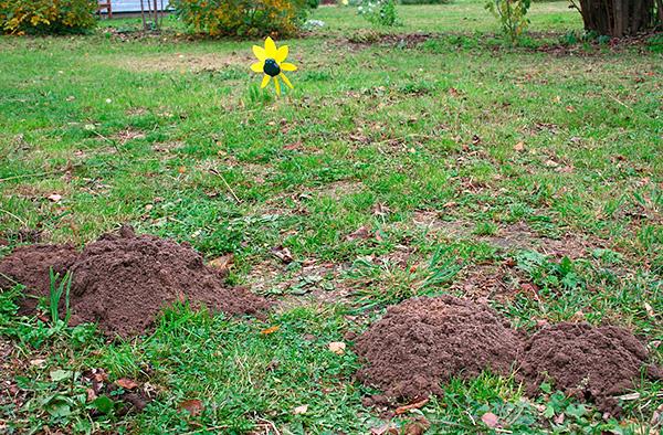 Обычно на огороде среднего размера живет не более 1-2 кротов, поэтому вряд ли придется выносить большое количество пойманных зверьков с участка.