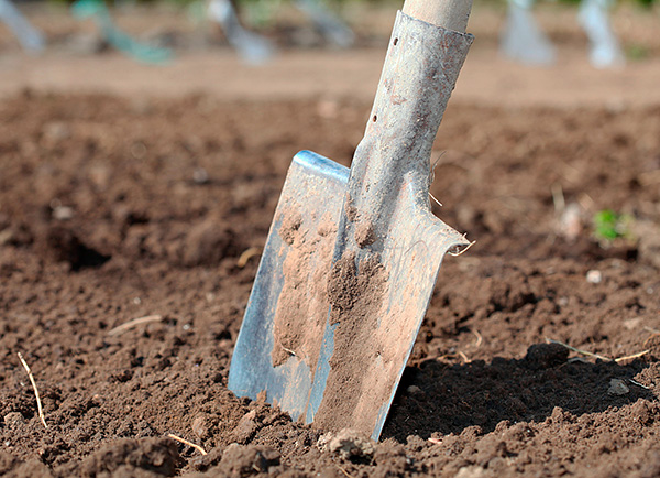 Если подкараулить крота при его перемещении в приповерхностном подземном ходе, то зверька легко можно выкопать лопатой.