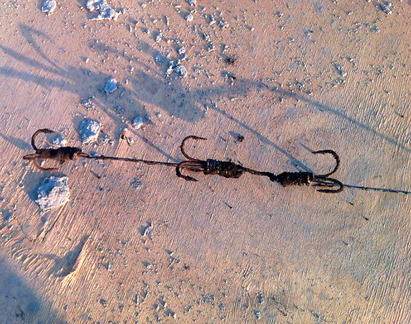 Пойманного на такой вот крючок крота затем просто вытаскивают из норы, вытягивая за леску.