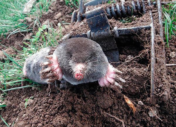 К сожалению, при борьбе с кротами огородники сегодня все еще довольно часто применяют различные капканы, которые калечат и убивают зверьков.