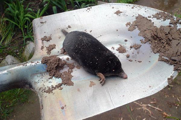 При должном опыте поймать крота в огороде можно и с помощью обычной лопаты, просто выкопав зверька из-под земли.