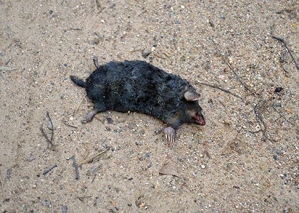 Хотя крысиная отрава и помогает избавиться от кротов на огороде, однако применение этого средства сопряжено с риском отравить и домашних животных.