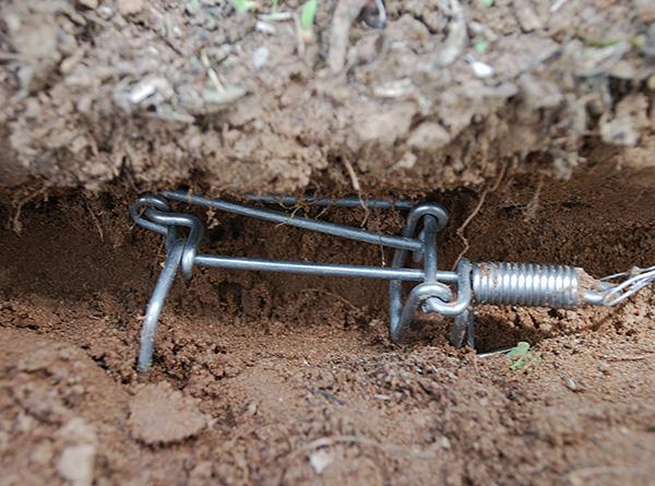 Нередко кротов ловят с помощью различных капканов и живоловушек (на фото показан пример проволочной кротоловки).