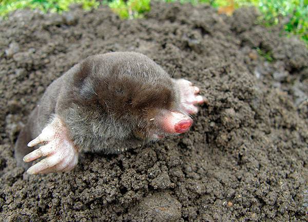 В большинстве случаев прежде чем использовать капканы, полезно сперва попытаться отпугнуть вредителя с огорода.