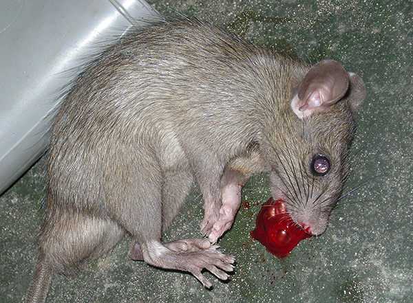 Крысы, погибшие от отравы, тоже способны причинить неудобство, поскольку придется их искать и утилизировать во избежание заражения или отравления домашних животных, а также появления неприятного запаха.