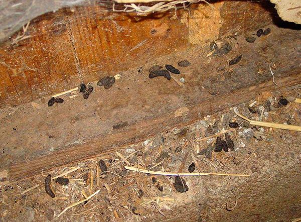 Одним из наиболее характерных признаков присутствия крыс в курятнике является наличие на полу крысиного помета.