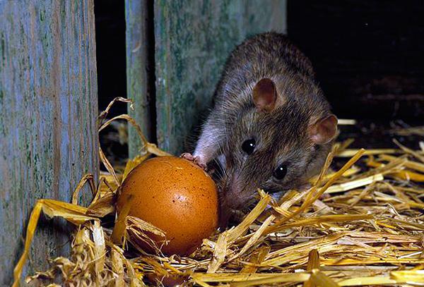 Неприятной особенностью присутствия крыс в курятнике является то, что они воруют яйца.