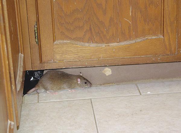 Иногда грызуны просто привыкают к постоянному ультразвуку, и перестают реагировать на отпугиватель.