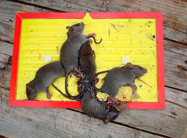 Мыши - гораздо менее осторожные животные, чем крысы, поэтому в одну ловушку нередко попадаются сразу несколько особей.