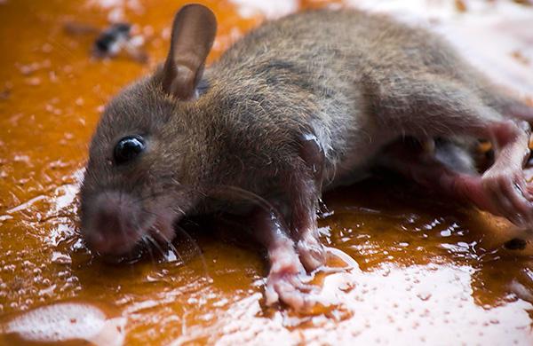 Зверек, попав в клеевую ловушку, может громко пищать и дергаться, пока в течение нескольких дней не умрет от жажды.