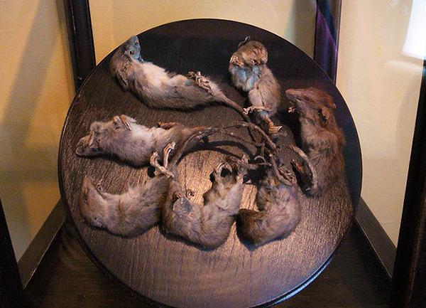 Хорошо сохранившийся экземпляр крысиного короля, состоящего из 7 зверьков (выставлен в одном из музеев).