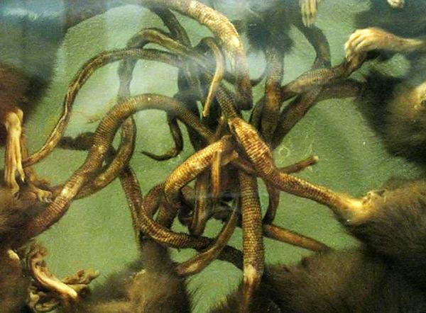 Сцепляясь хвостами, крысы обречены на мучительную смерть от голода, поскольку уже не способны целенаправленно передвигаться и добывать себе пищу.