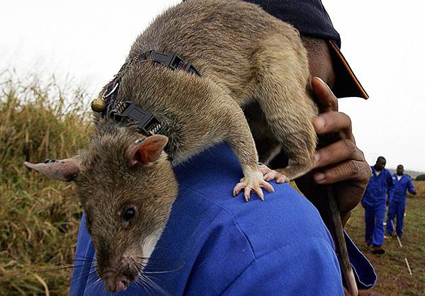 Гигантская сумчатая крыса может достигать 90 см в длину и весить почти 1,5 кг.
