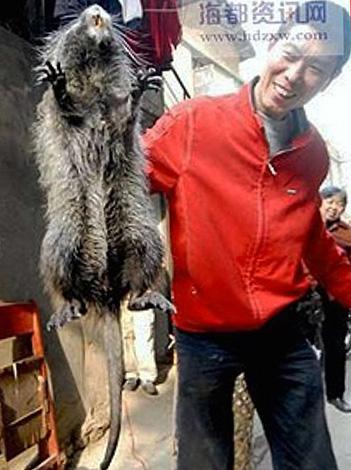 Бамбуковая крыса может достигать длины 50 см при весе 4 кг и вполне может сойти в желтой прессе за гигантского грызуна, пойманного в Китае.
