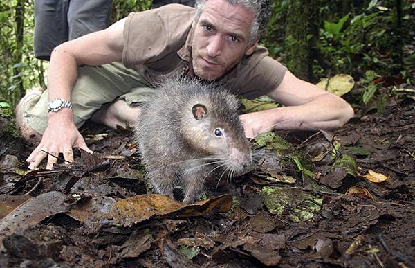 Шерстистая крыса Босави совершенно не боится людей.