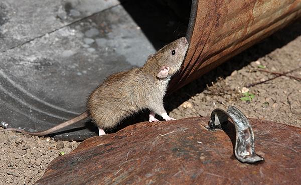 Обыкновенная серая крыса является самой распространенной разновидностью этих животных и ее тело может достигать 25 см в длину, а с хвостом - еще больше.