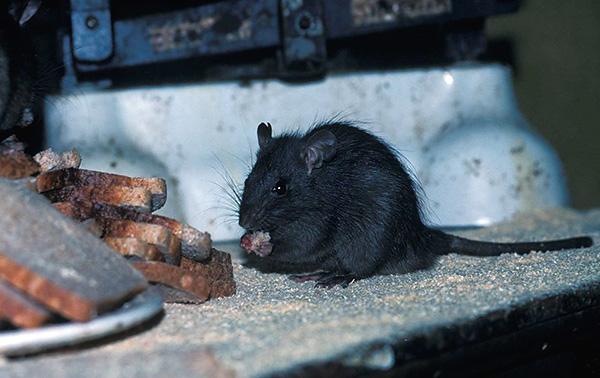 На фотографии показана черная крыса за трапезой...