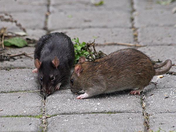 Черные и серые крысы вполне мирно уживаются на одной территории, не проявляя агрессии по отношению друг к другу.