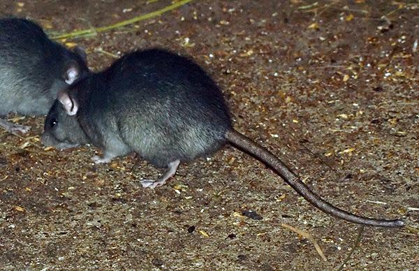 В природе черные крысы живут преимущественно в сухих условиях.