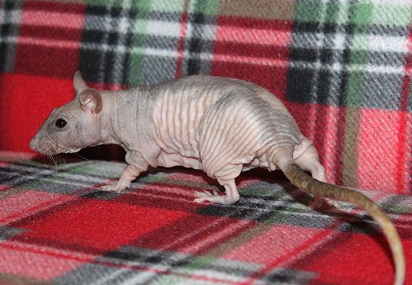 Голая (лысая) крыса породы Сфинкс