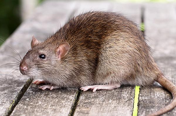 В среднем серые крысы (пасюки) значительно крупнее, чем их черные собратья.