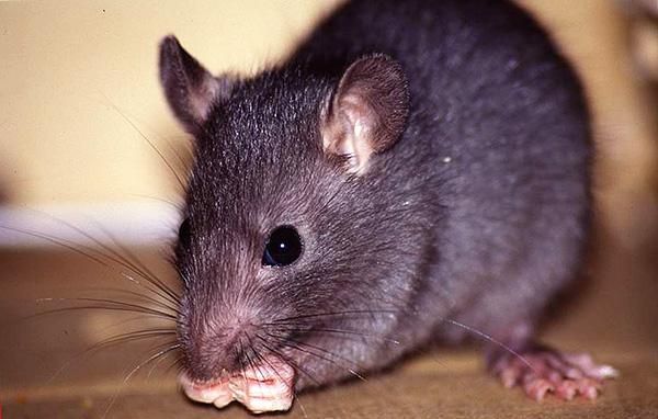 Черную крысу от её серого сородича отличают меньшие размеры, вытянутая мордочка и большие уши, что в целом делает её похожей на крупную мышь.