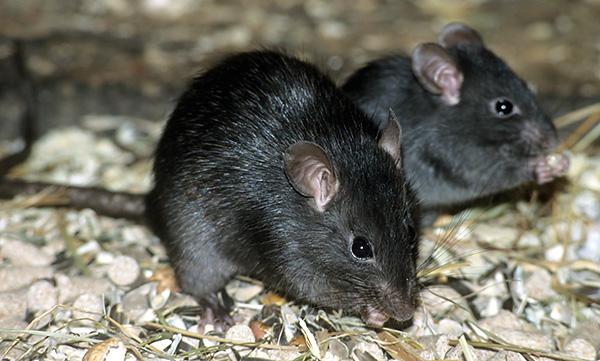 Черные крысы делятся на 4 подвида, внешне ничем не отличающихся друг от друга, но дающих при взаимном скрещивании менее плодовитое потомство.