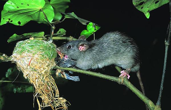 На фото показано, как черная крыса разоряет гнездо птицы.