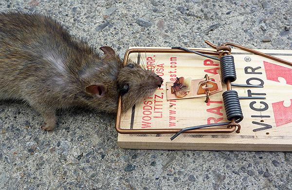 Простая мышеловка является одним из самых известных и эффективных средств для борьбы с крысами и мышами.