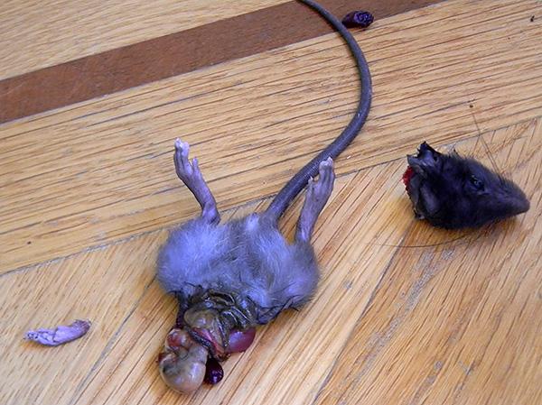 Кошки-крысоловки и некоторые породы собак способны эффективно уничтожать грызунов, но зачастую оставляют неприятные последствия своей борьбы с ними...