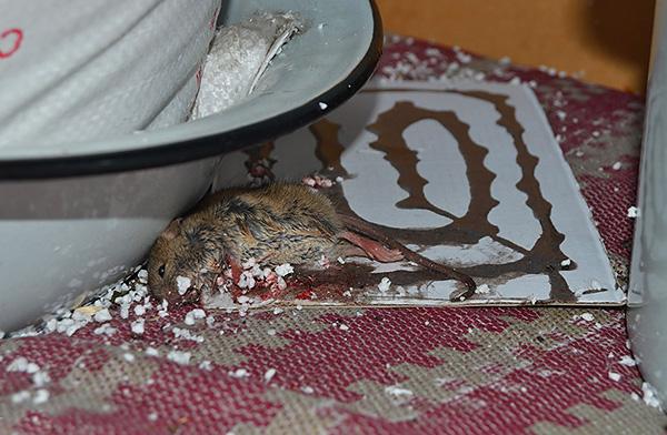 Попавших в клеевую ловушку грызунов ждет медленная и мучительная смерть от жажды в течение нескольких дней.